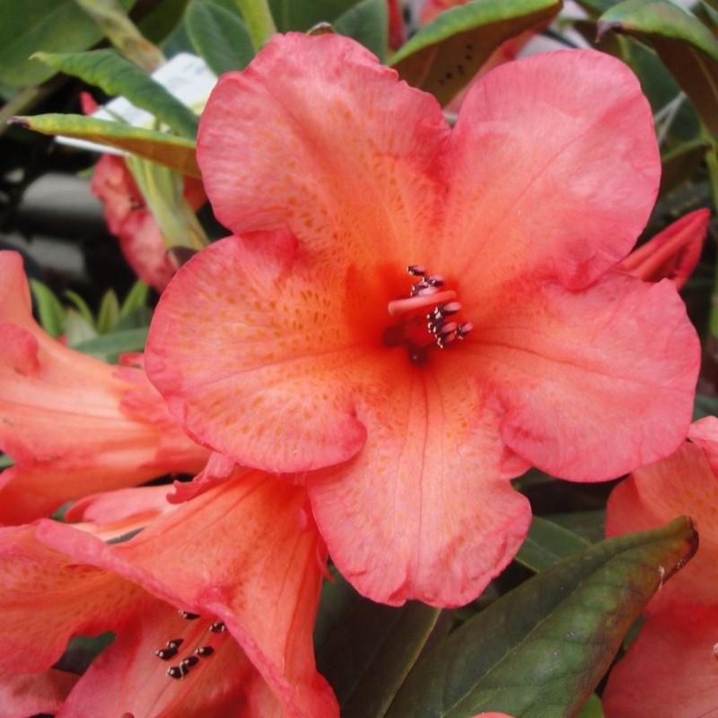 Vente en ligne de Rhododendron nain orange 0