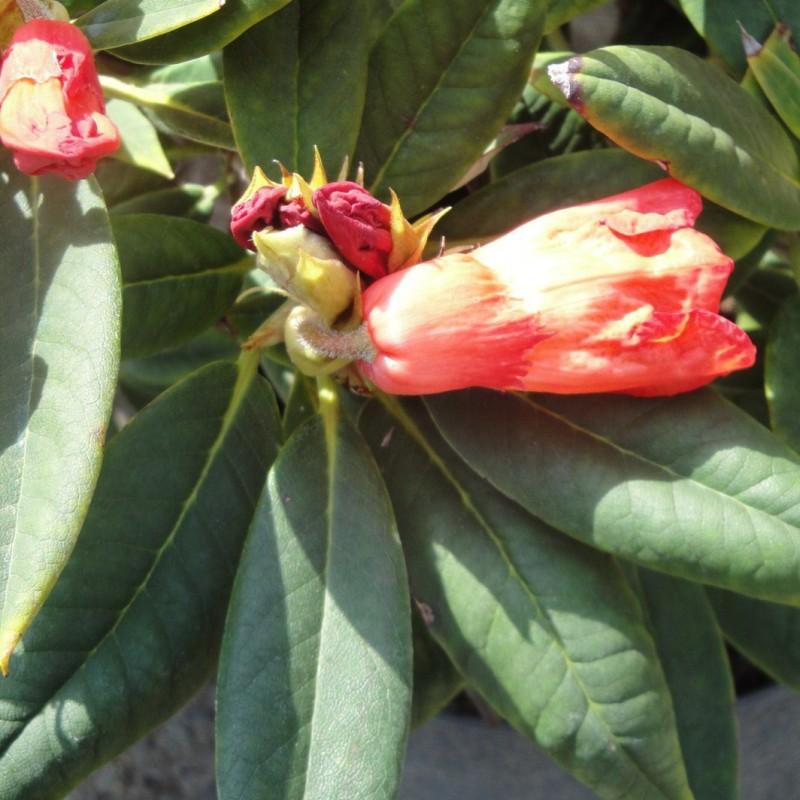 Vente en ligne de Rhododendron nain orange 1