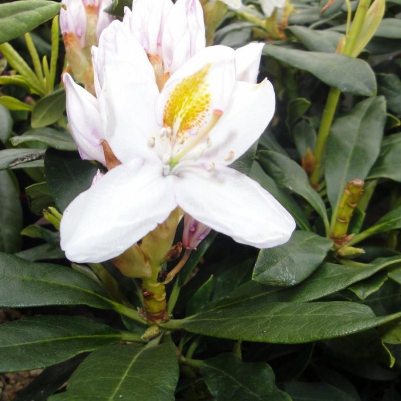 Vente en ligne de Rhododendron à grande végétation 1