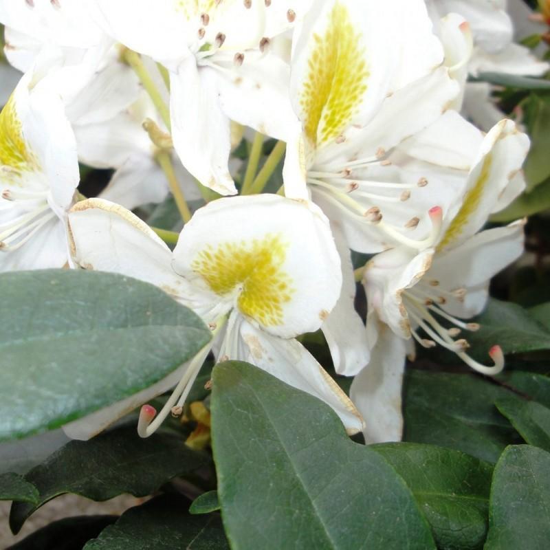 Vente en ligne de Rhododendron à grande végétation 2