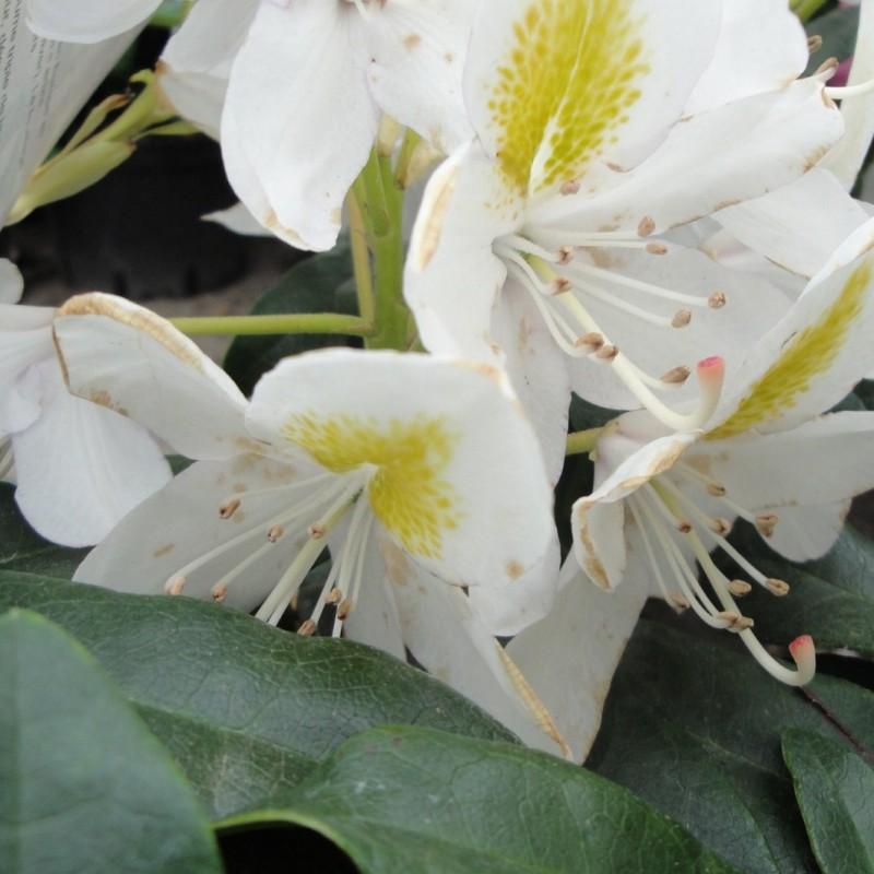 Vente en ligne de Rhododendron à grande végétation 3