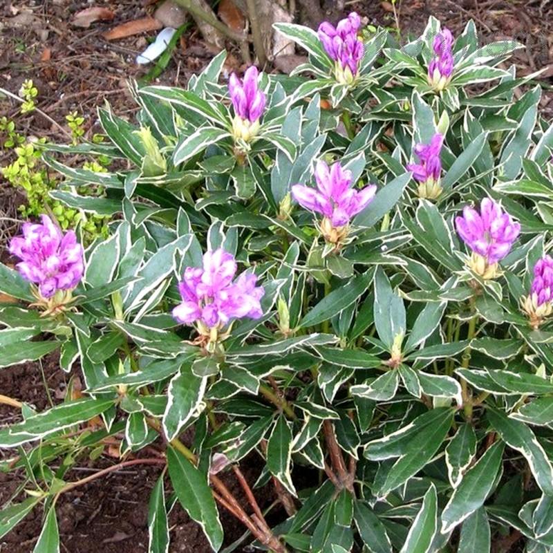 Vente en ligne de Rhododendron à grande végétation 0
