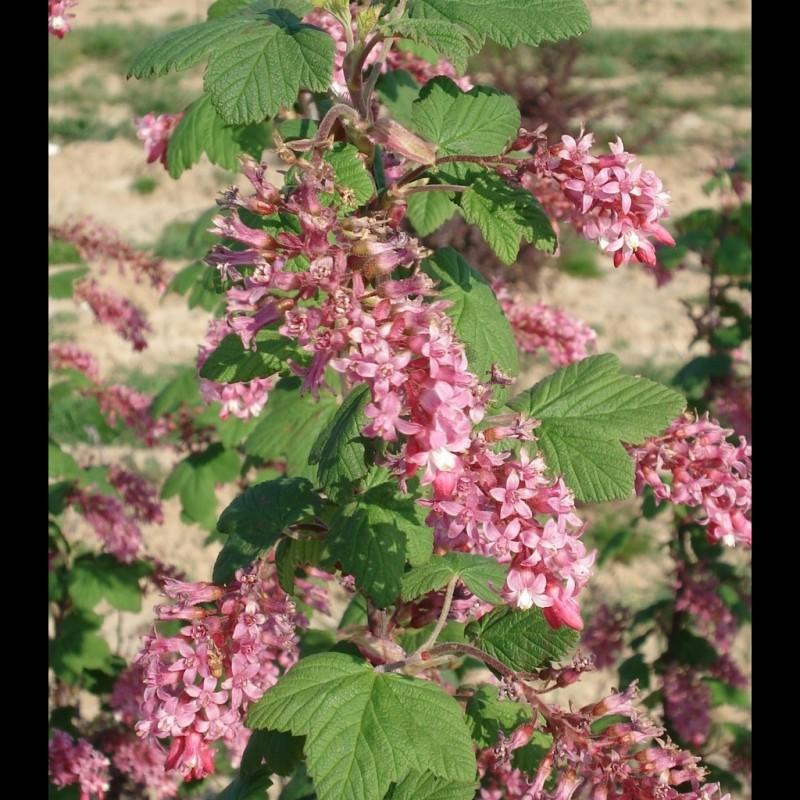 Vente en ligne de Groseiller à fleur 'King Edward VII' 0