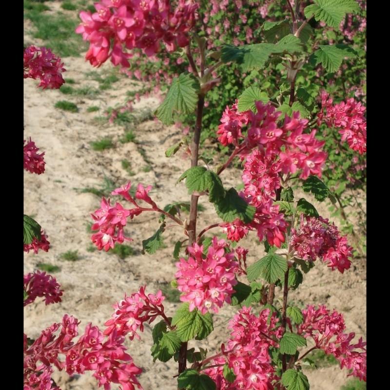 Vente en ligne de Groseiller à fleur 'Pulborough Scarlet' 0