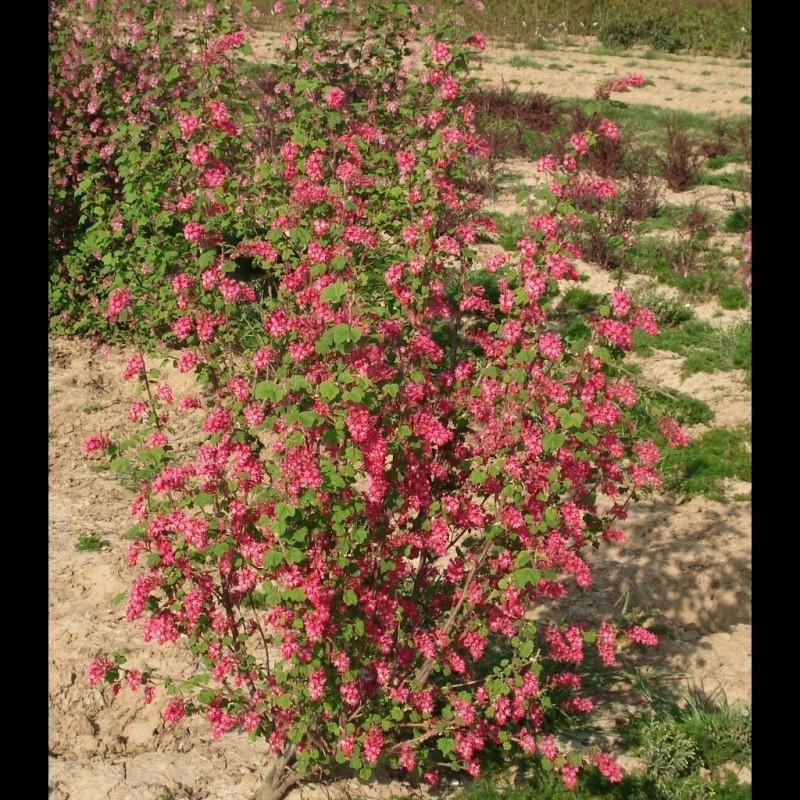 Vente en ligne de Groseiller à fleur 'Pulborough Scarlet' 1