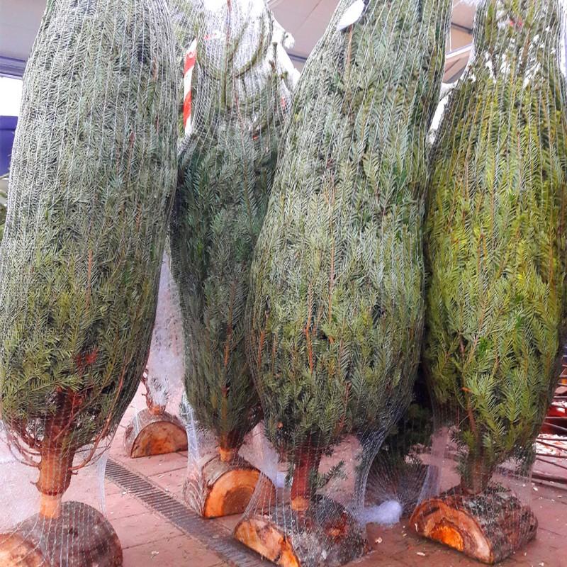 Vente en ligne de Sapin de Noël NORDMANN coupé Disponible en jardinerie uniquement 2