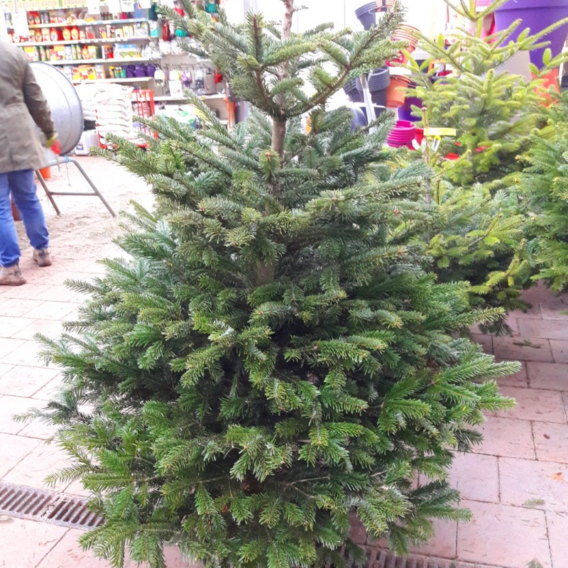 Vente en ligne de Sapin de Noël NORDMANN coupé Disponible en jardinerie uniquement 1