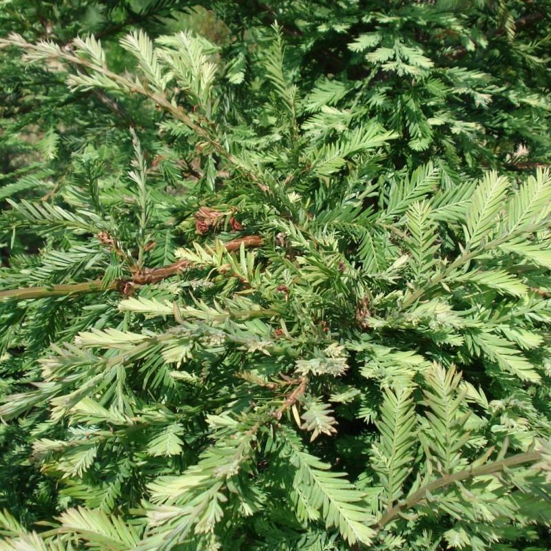 Vente en ligne de Sequoia vert 1