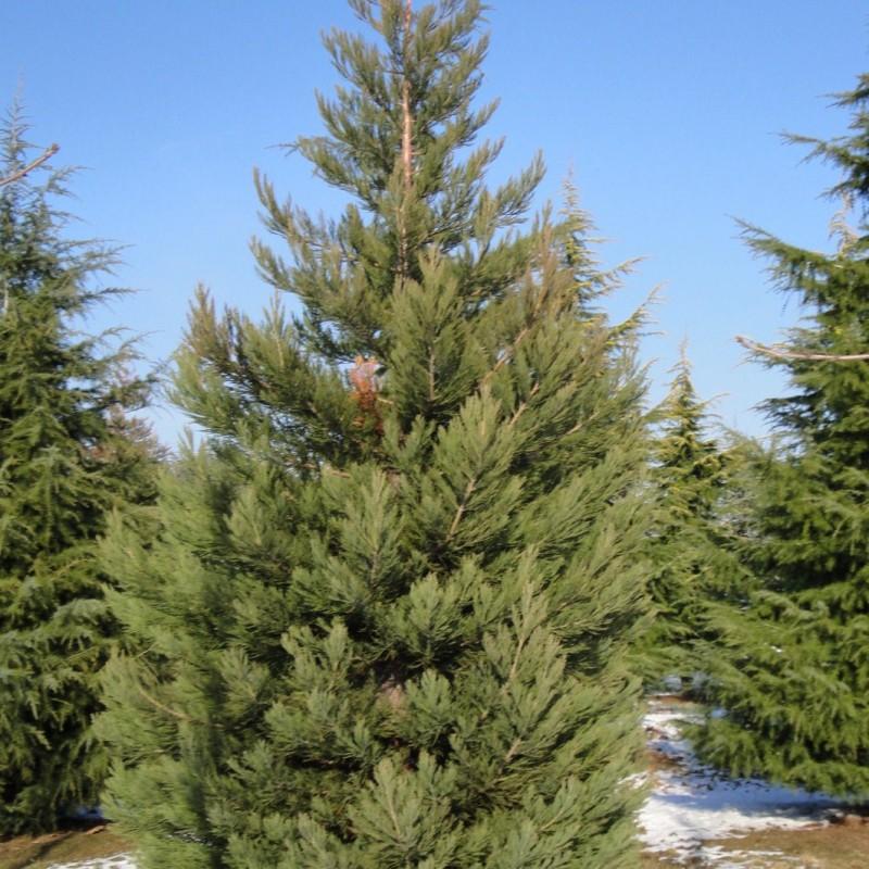 Vente en ligne de Sequoia géant 0