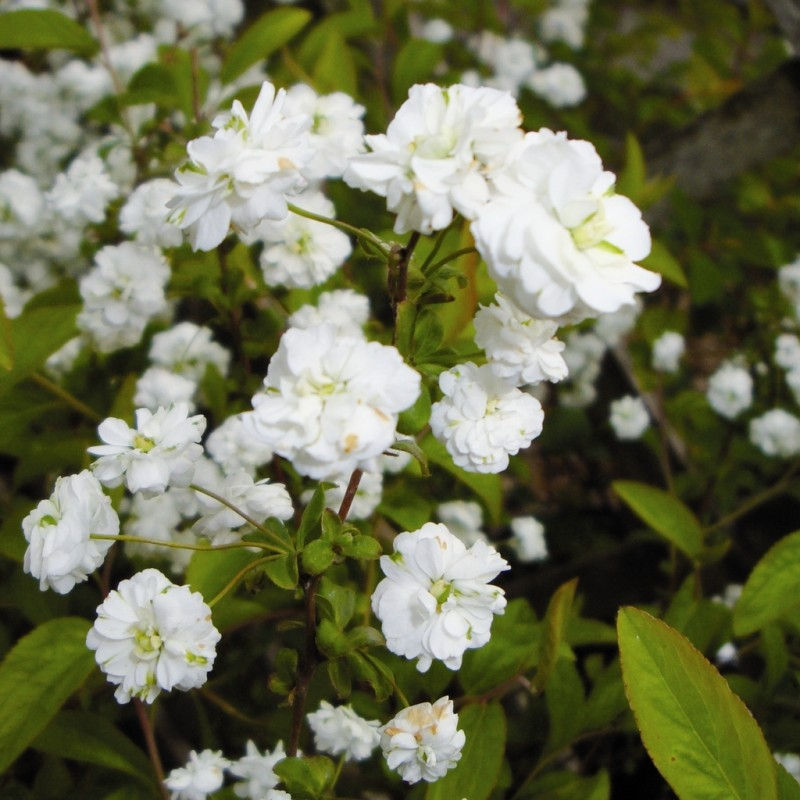 Vente en ligne de Spirée prunifolia Plena 0