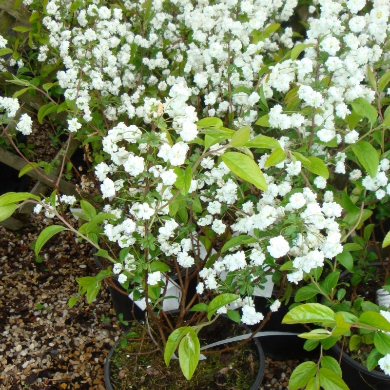 Vente en ligne de Spirée prunifolia Plena 1
