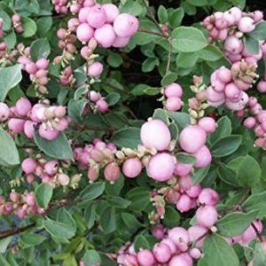 Vente en ligne de Symphorine à fruits roses 'Mother of Pearl' 0