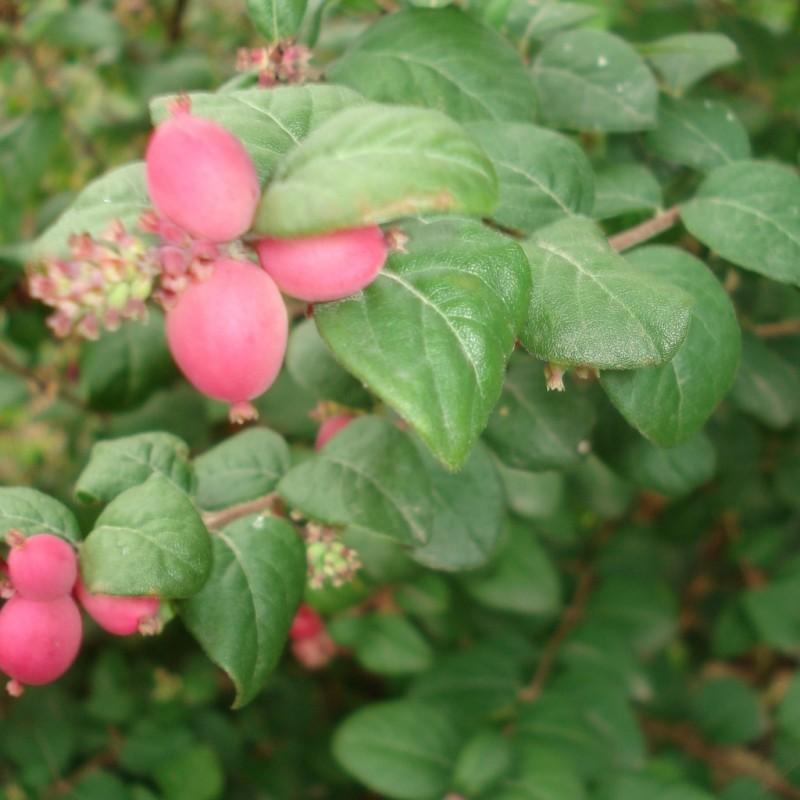 Vente en ligne de Symphorine à fruits rouges 'Magic Berry' 0