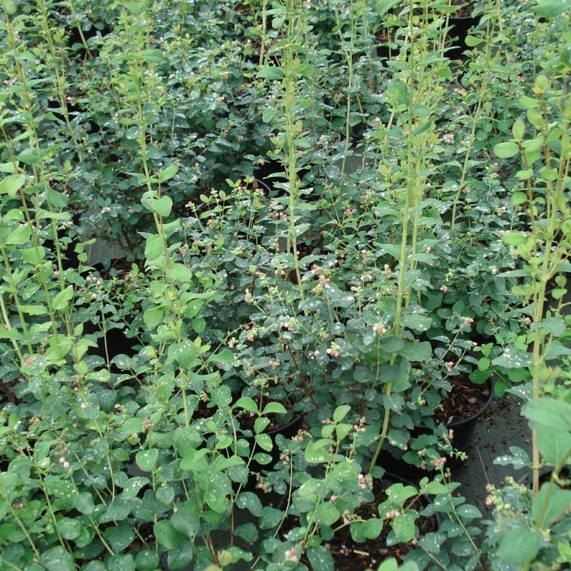 Vente en ligne de Symphorine à fruits blancs 'White Hedge' 1