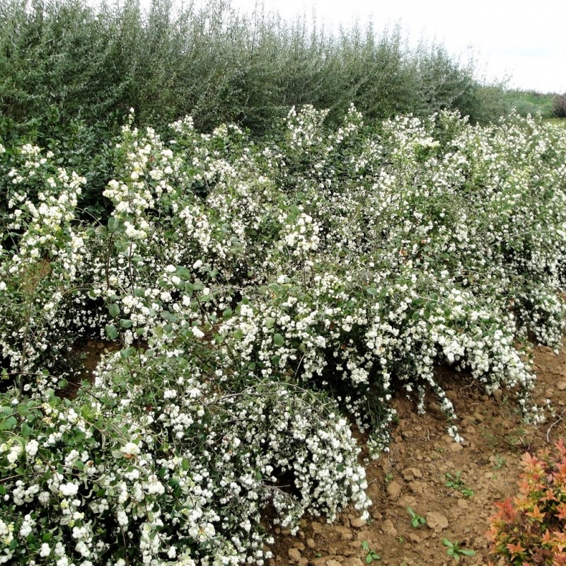 Vente en ligne de Symphorine à fruits blancs 'White Hedge' 2