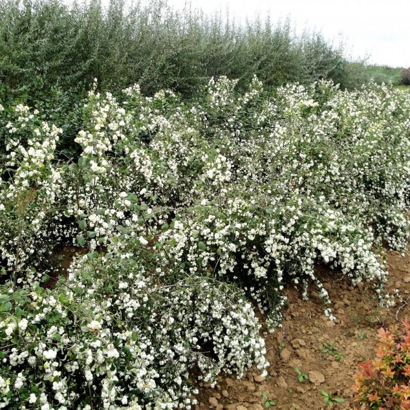 Vente en ligne de Symphorine à fruits blancs 'White Hedge' 2