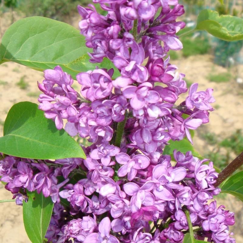 Vente en ligne de Lilas violet 'Charles Joly' 2