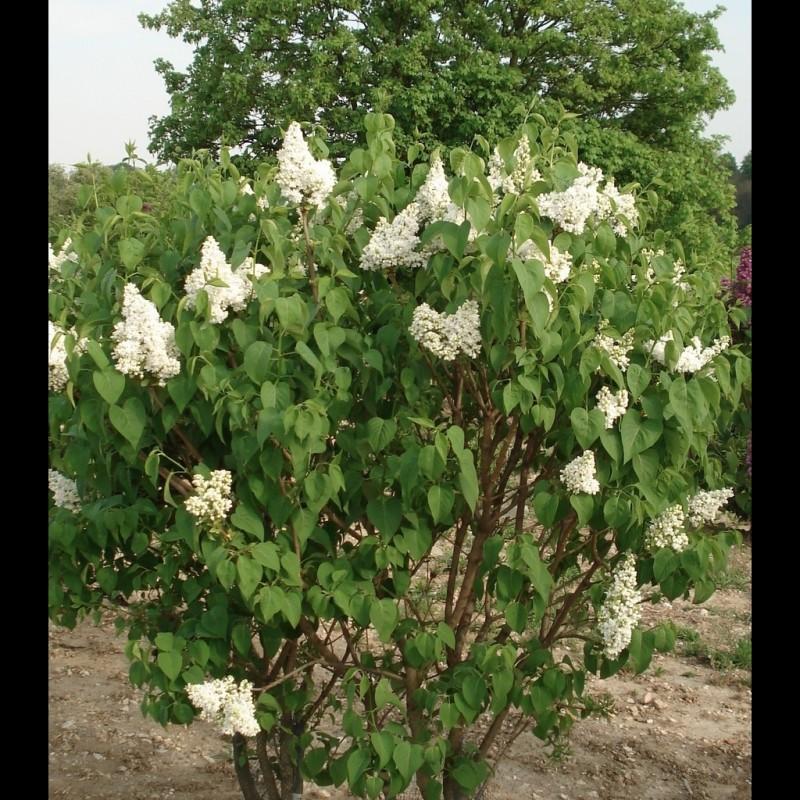 Vente en ligne de Lilas blanc 'Madame Lemoine' 1