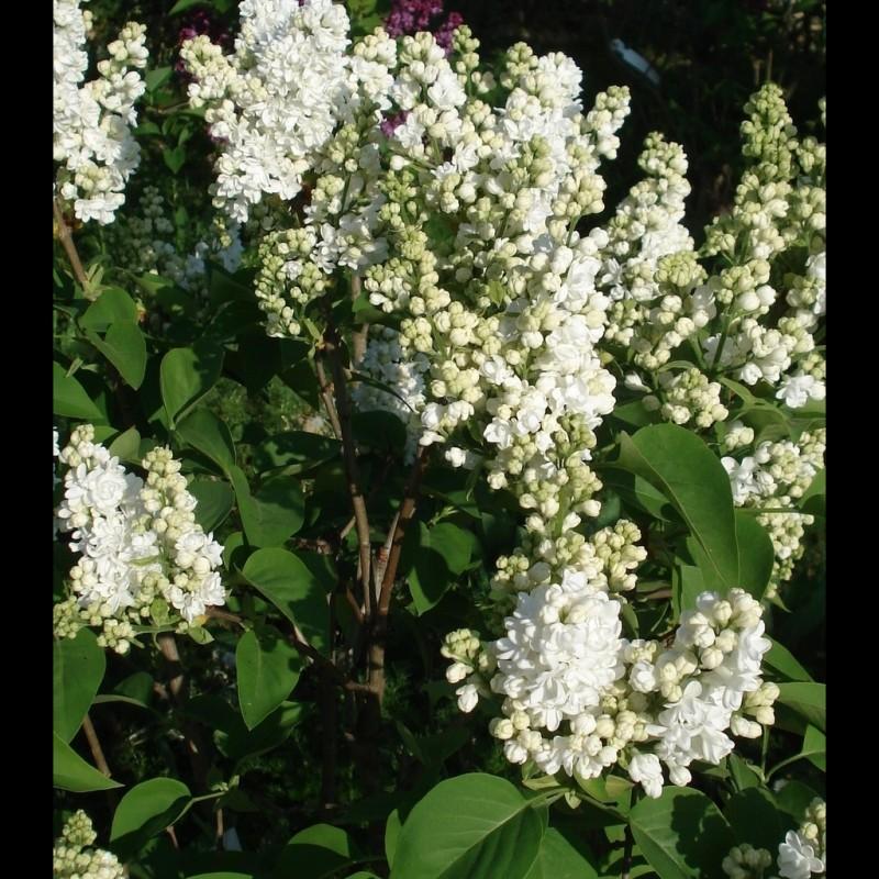 Vente en ligne de Lilas blanc 'Madame Lemoine' 2