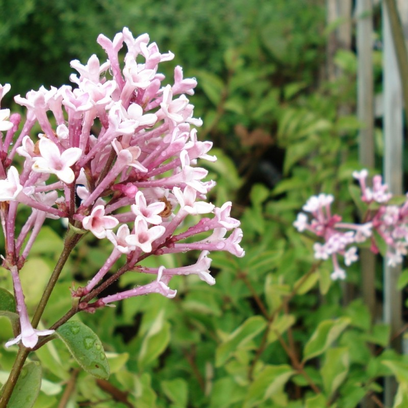 Vente en ligne de Lilas à petites feuilles 'Superba' 0