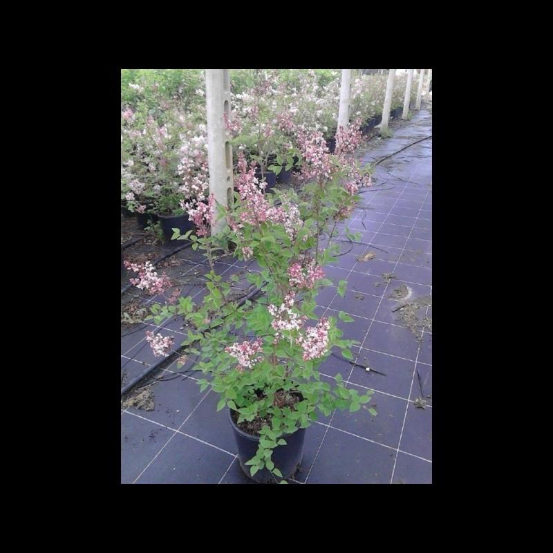 Vente en ligne de Lilas à petites feuilles 'Superba' 2