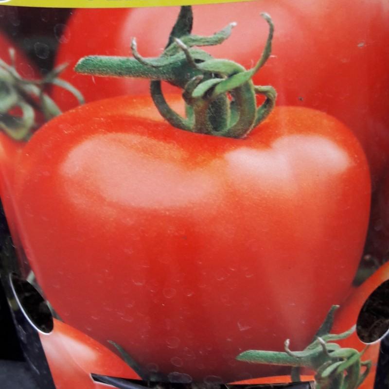 Vente en ligne de Plant de TOMATE - SOLANUM Lycopersicon 'Felicia' 0