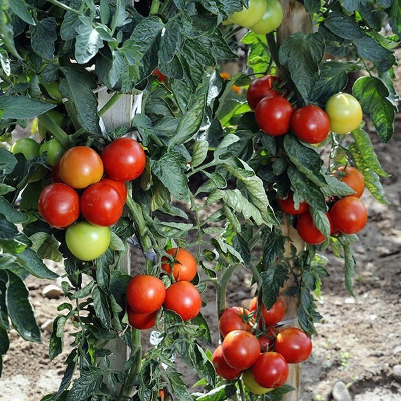 Vente en ligne de Plant de TOMATE - SOLANUM Lycopersicon 'Felicia' 1