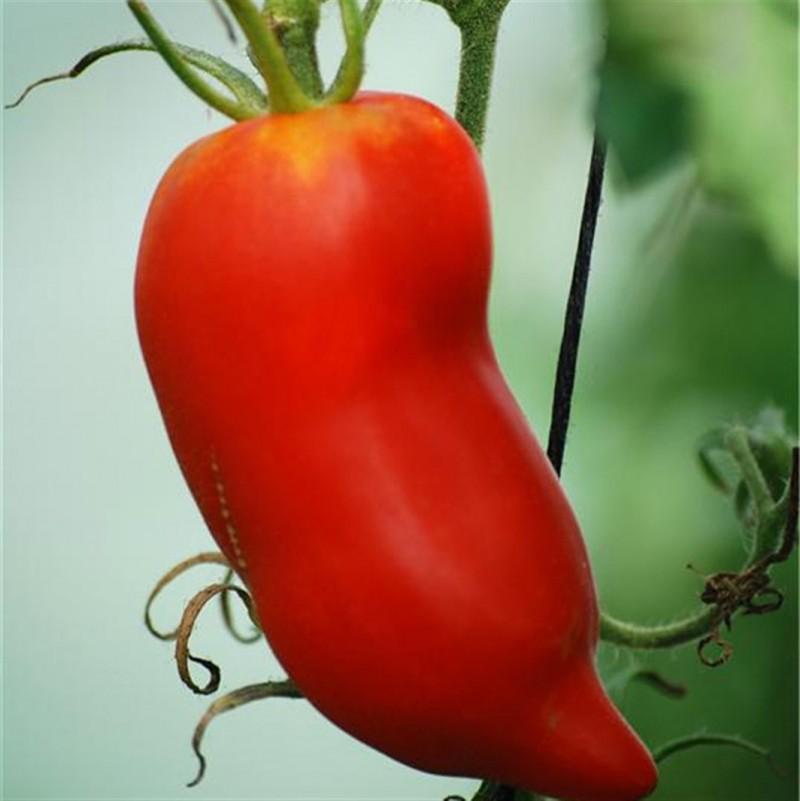 Vente en ligne de Plant de TOMATE - SOLANUM lycopersicum 'Andine Cornue' 1