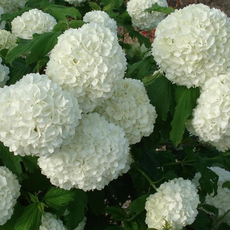 Vente en ligne de Viorne boule de neige 'Roseum' 1