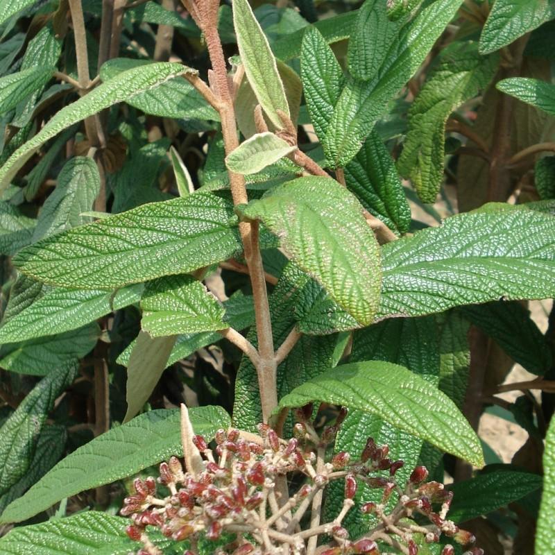 Vente en ligne de Viorne à feuilles ridées 0
