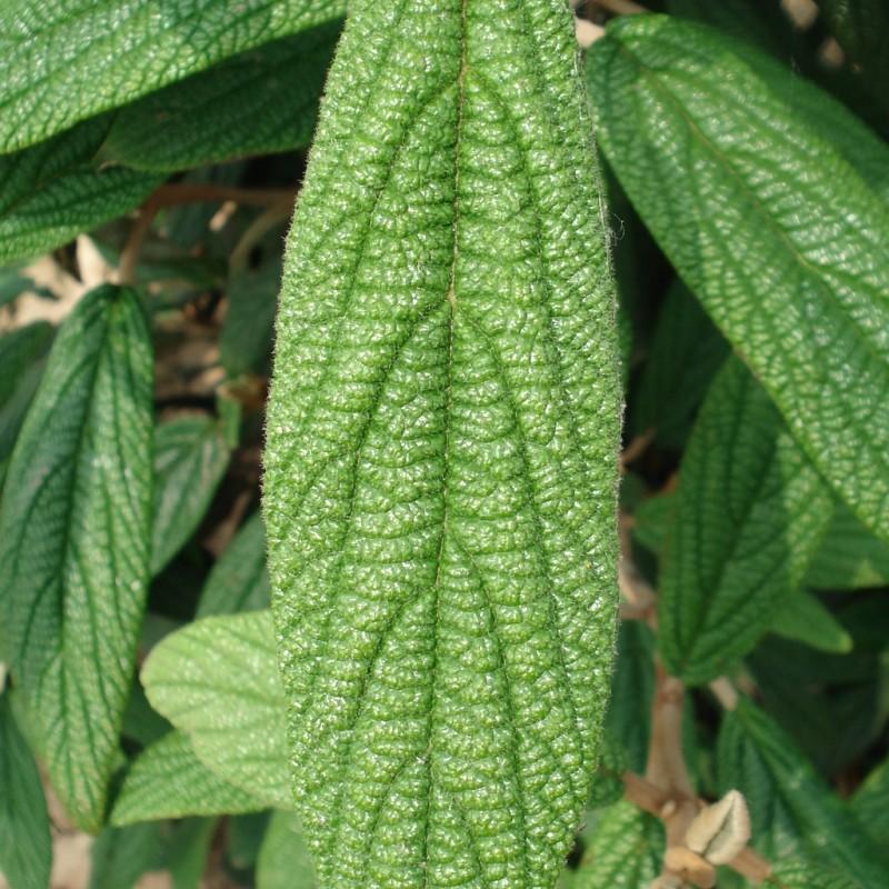 Vente en ligne de Viorne à feuilles ridées 4