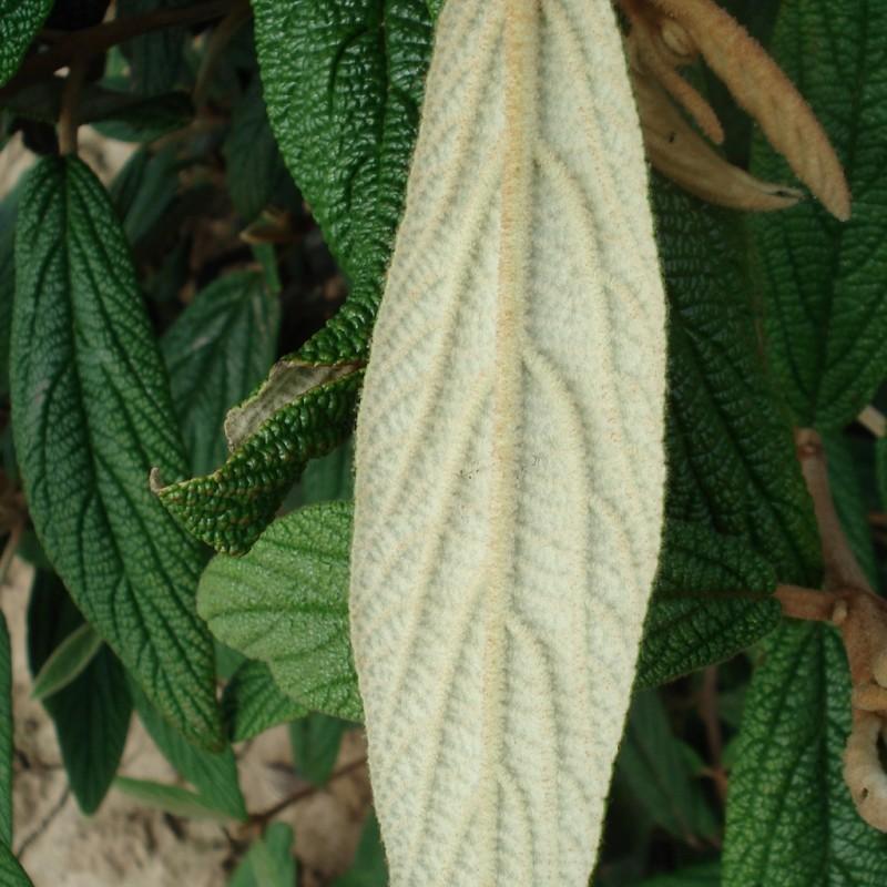 Vente en ligne de Viorne à feuilles ridées 5