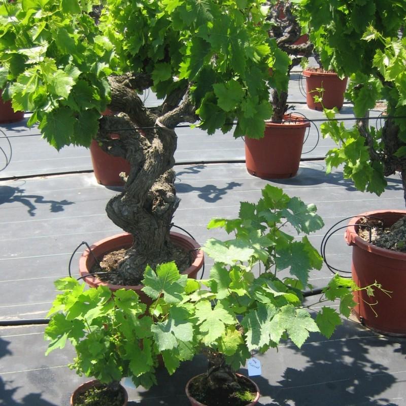 Vente en ligne de Vigne noire 3