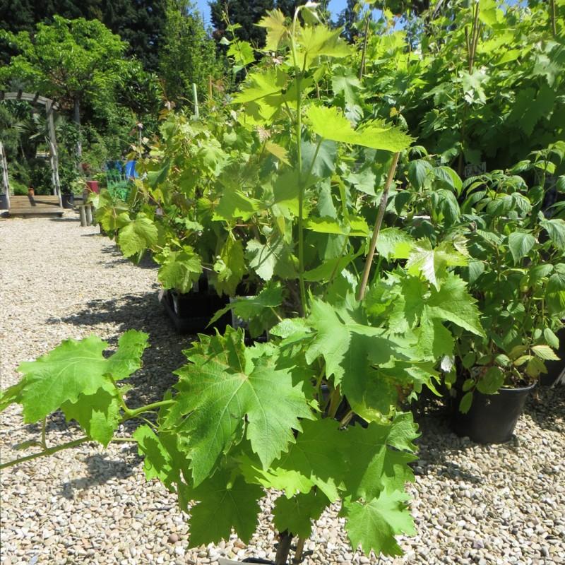 Vente en ligne de Vigne noire 2
