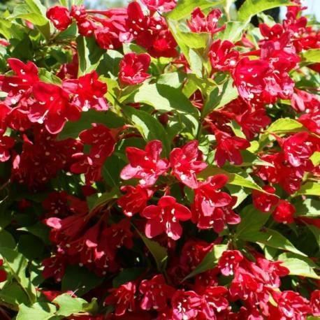 Vente en ligne de Weigélia rouge clair 'Red Prince' 0