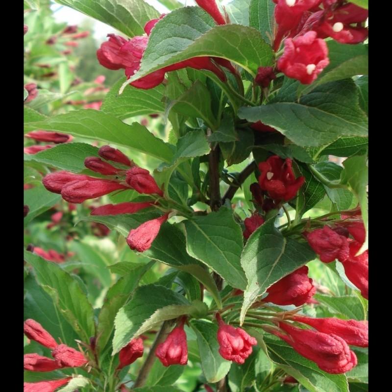 Vente en ligne de Weigélia rouge 'Bristol Ruby' 2