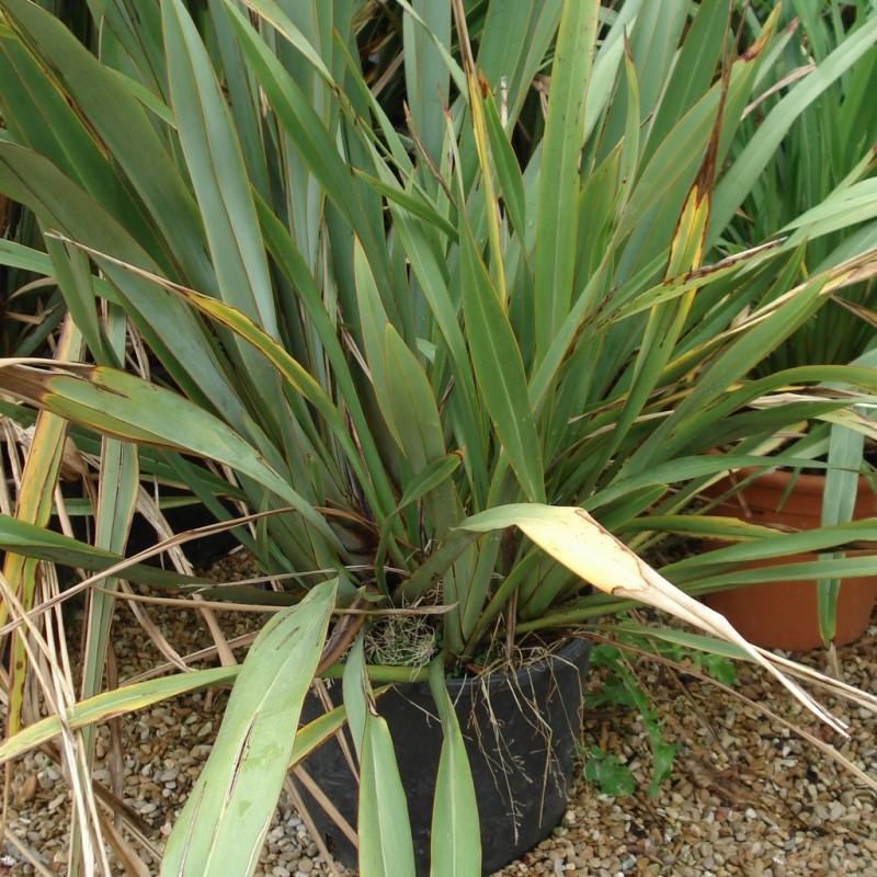 Vente en ligne de Yucca filamentosa 0