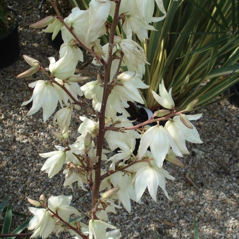 Vente en ligne de Yucca filamentosa 1