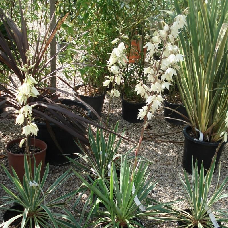 Vente en ligne de Yucca filamentosa 2