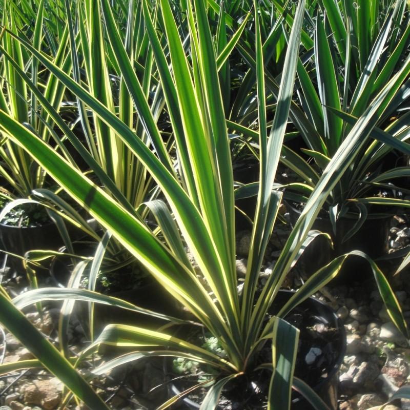 Vente en ligne de Yucca panaché 'Bright Edge' 1