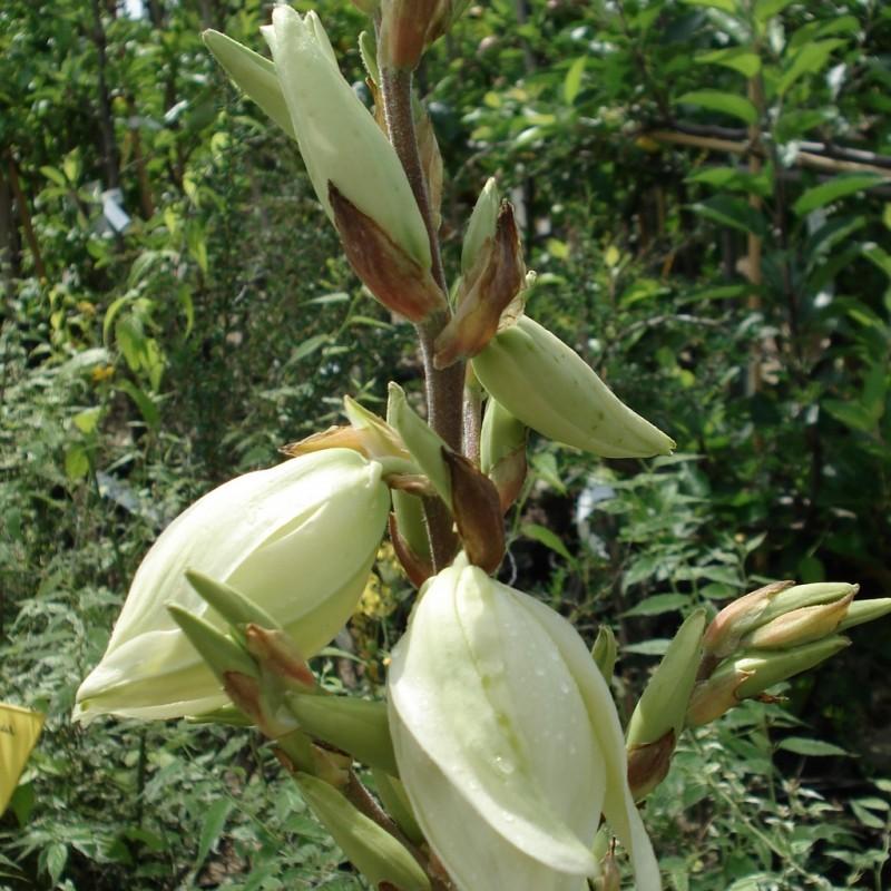 Vente en ligne de Yucca panaché 'Bright Edge' 3