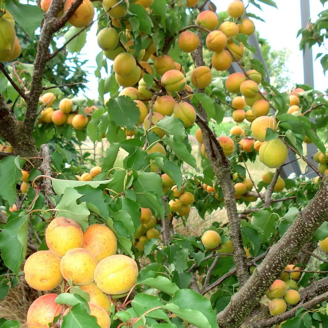 Achat ABRICOTIER - Prunus armeniaca 'Polonais'
