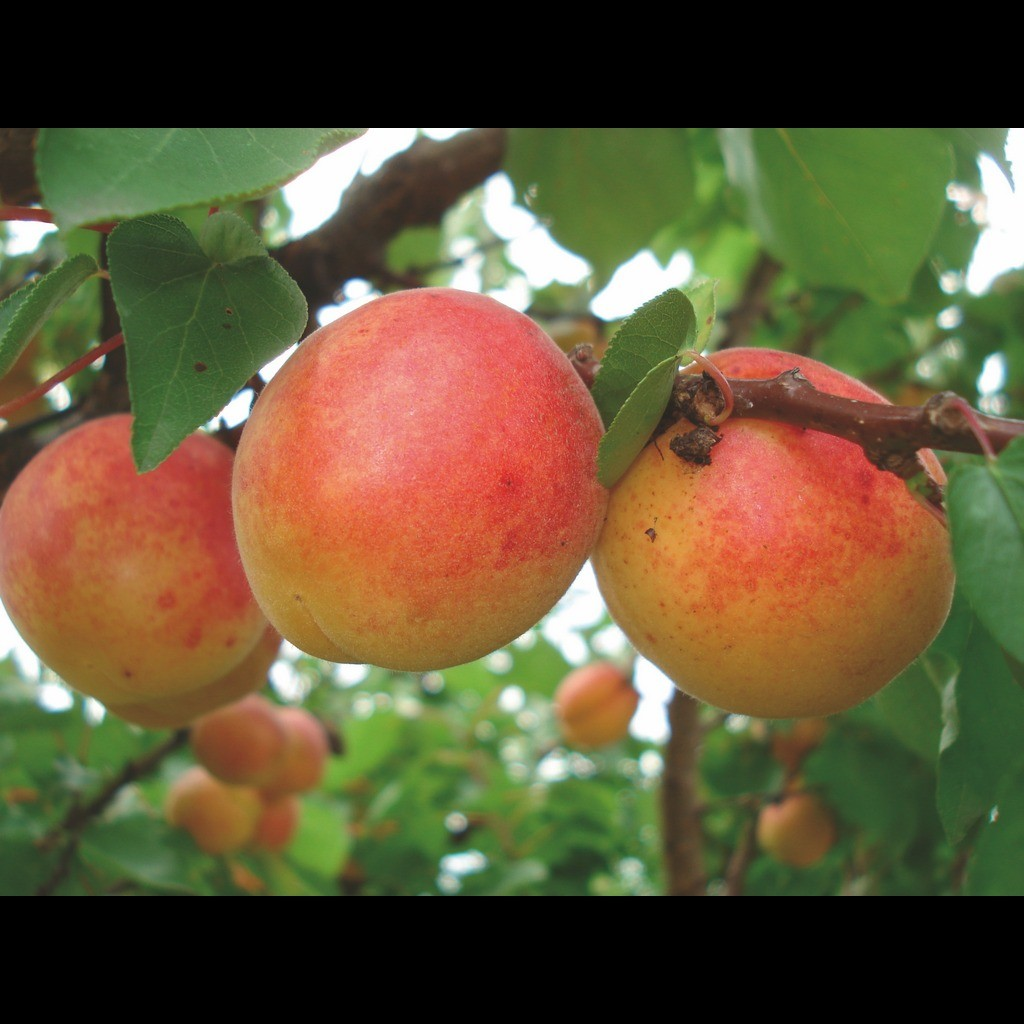 Achat ABRICOTIER - Prunus armeniaca 'Rouge du roussillon'