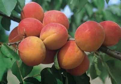 Achat ABRICOTIER - Prunus armeniaca 'Lambertin n°1'