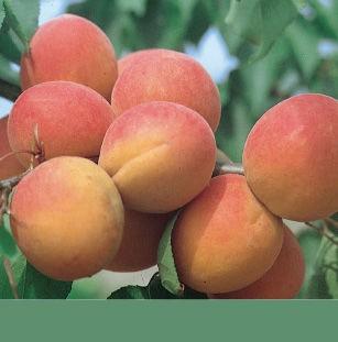 Achat ABRICOTIER - Prunus armeniaca 'Paviot'