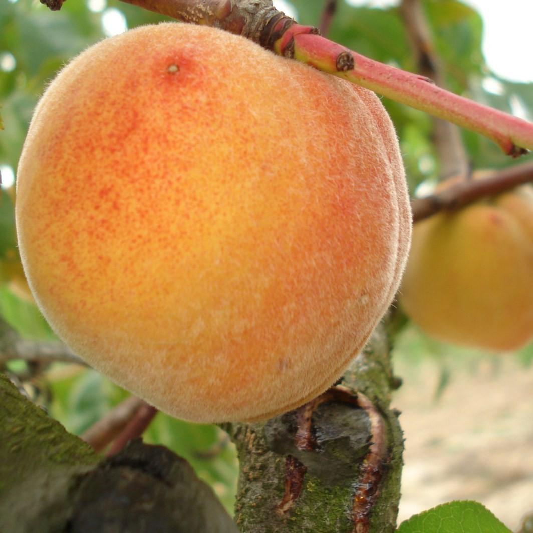 Achat ABRICOTIER - Prunus armeniaca 'Bergeron'