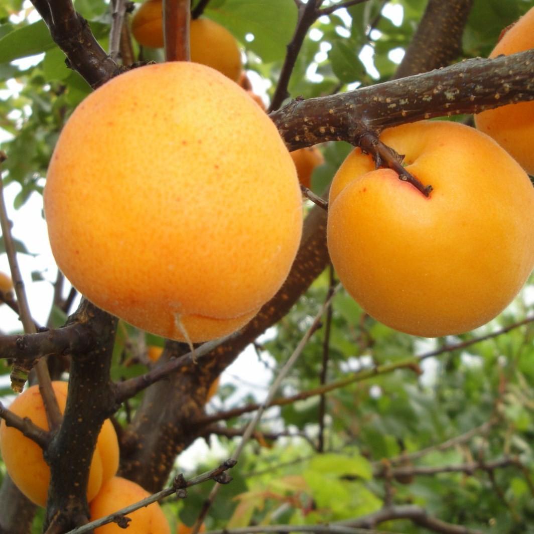 Achat ABRICOTIER - Prunus armeniaca 'Colomer'