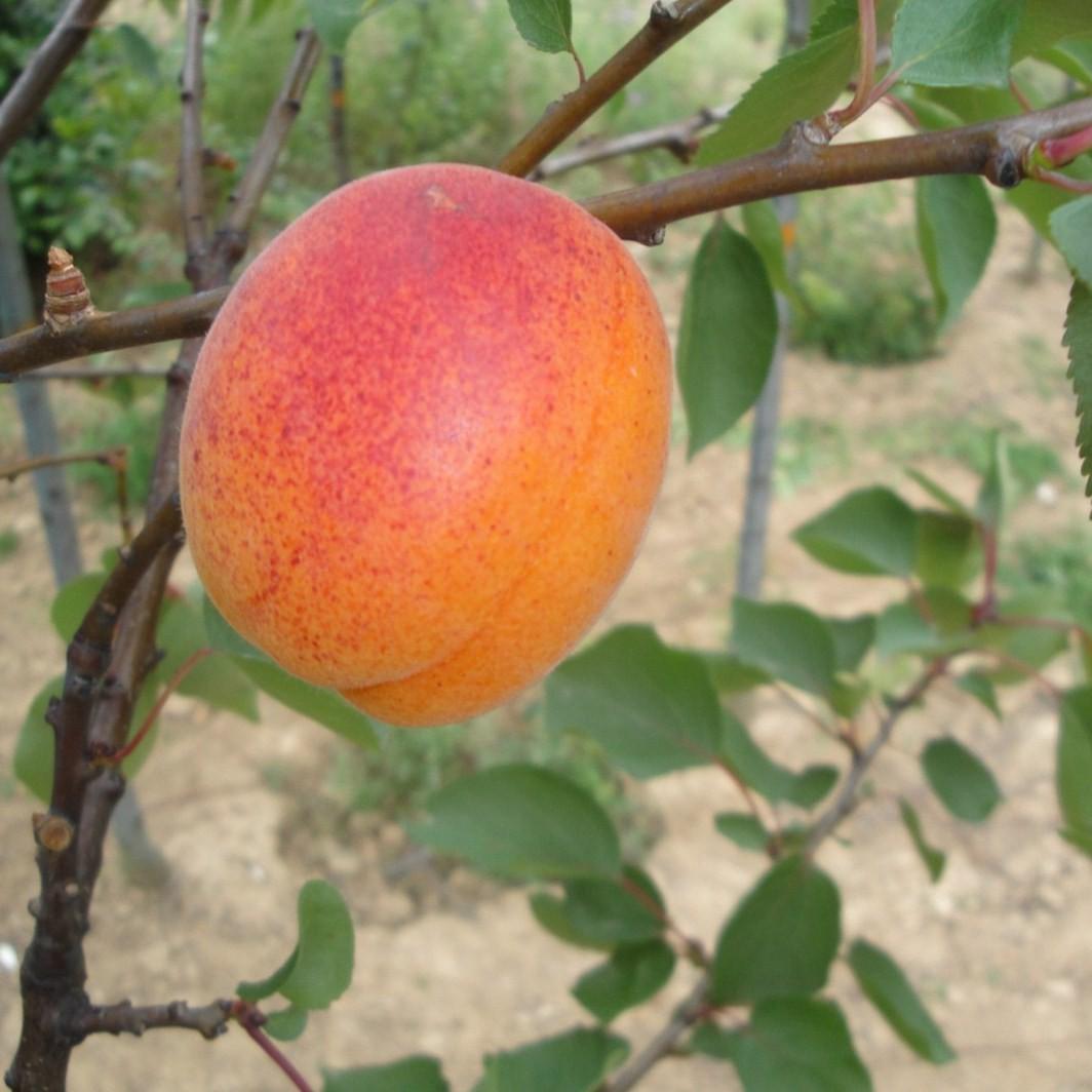 Achat ABRICOTIER - Prunus armeniaca 'Goldrich'