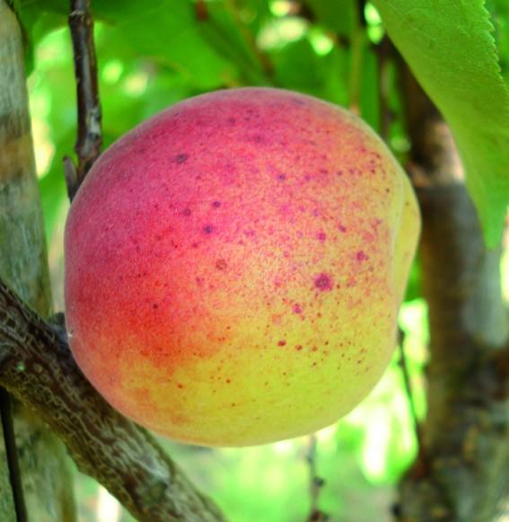 Achat ABRICOTIER - Prunus armeniaca 'Royal'