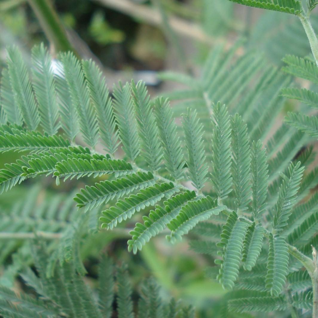 Achat Mimosa de semis